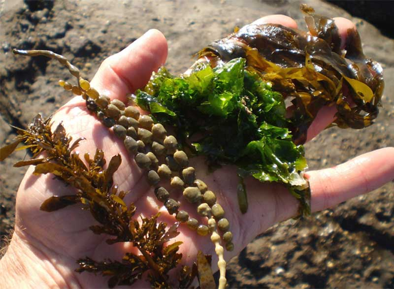 products you didnt realize that seaweed in them
