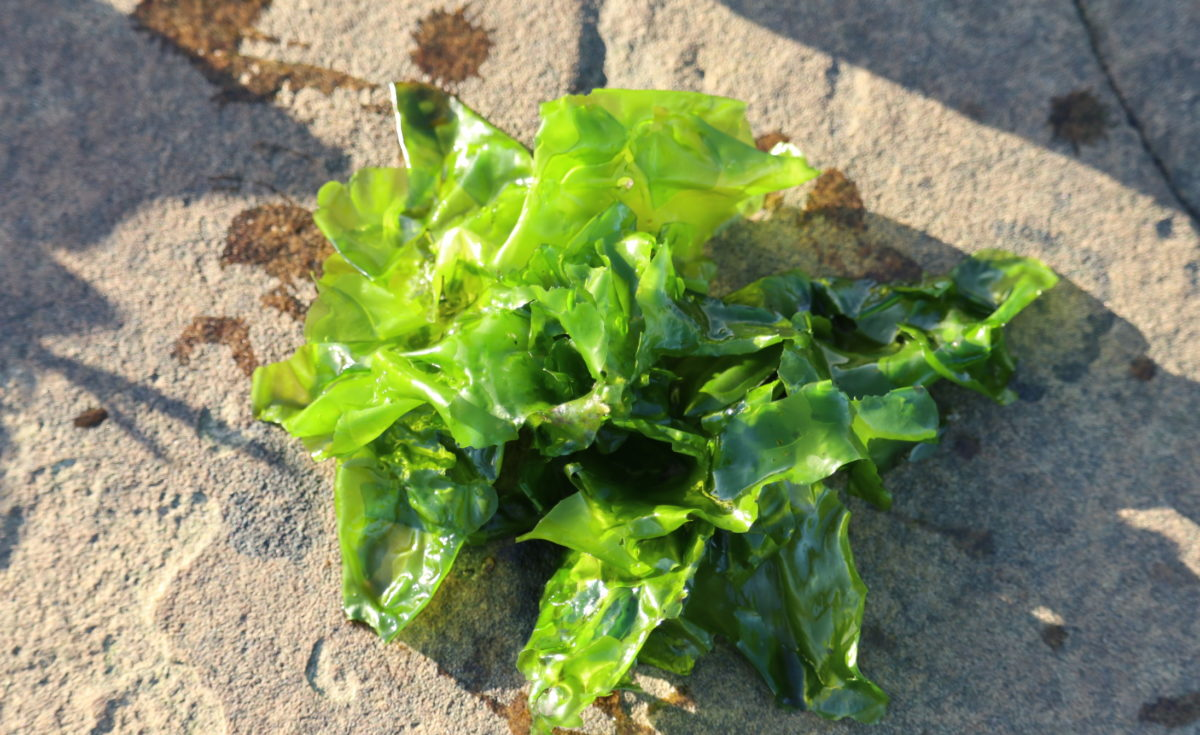 seaweed and weightloss